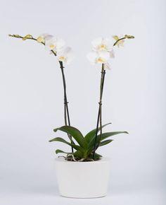 Vlinderorchidee White in pot