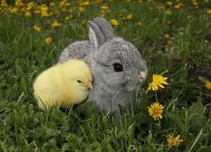 Special Precautions for Raising Rabbits and Chickens Together thumbnail