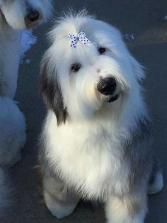 Oes Cute Puppies, Cute Dogs, Dogs And Puppies, Doggies, Funny Animals, Cute Animals, Best Dog Toys, Bearded Collie, Old English Sheepdog