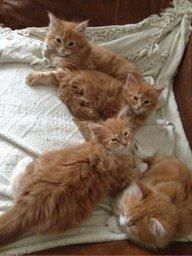 Maine Coon Kittens Ginger Boys. | Cute Animals Online http://www.mainecoonguide.com/