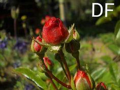Rosen ♥ zu verkaufen als poster oder xxl bild --> Marisa-staudter@web.de
