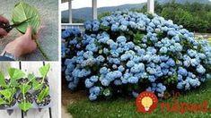Grădinărit Archives - Perfect Ask Rooting Hydrangea Cuttings, Nassau, Flower Power, Garden Design, Pergola, Flora, Herbs, Fruit, Gardening