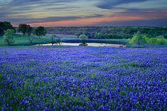 Texas Photograph - Bluebonnet Lake Vista Texas Sunset - Wildflowers Landscape Flowers Pond by Jon Holiday
