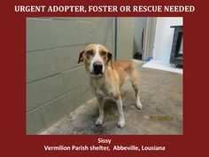 ***SUPER URGENT!!!*** - PLEASE SAVE SISSY!! - EU DATE: 8/22/2014 -- Sissy Breed:Labrador Retriever (mix breed) Age: Adult Gender: Female Size: Large -  please contact us at animalaidvermilion@gmail.com or (337) 366-0212 or visit our website animalaidvermilionarea.com for more information