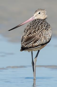 The marbled godwit (Limosa fedoa) is a large shorebird. On average, it is the largest of the 4 species of godwit. - Photo by Photographer Robert Melone