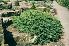 The Dwarf Japanese Garden Juniper is an evergreen groundcover that cascades along the ground, over rocks, or down a wall or container for a stunning, natural look. Landscape Design, Garden Design, Evergreen Groundcover, Shade Shrubs, Knockout Roses, Sandy Soil, Ground Cover Plants, Types Of Plants, Water Features