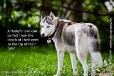 A Husky's love can be felt from the depth of their eyes to the tip of their tale.
