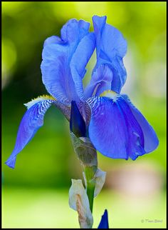 images of iris flowers | Blue Iris flower