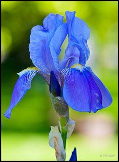 images of iris flowers   Blue Iris flower