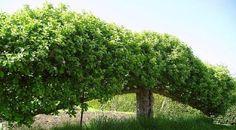 espalier of fruit trees