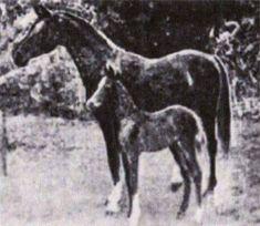 Jerboa Desertbred Bay mare  Original Arabian - Saudi Arabia; GSB*26; Color: Bay; Strain: Mu'niqiyah Hudruiyah Al Khamsa: A Foundation Horse; Ancestral Elements, Blunt 100.0%; Sheykh Obeyd Foundation - Root Horse  Bred by 'Uthman al-'Abd of the 'Ubayd Fidan Bedouins in the neighborhood of Deyr Purchased 1878 in Deyr from her breeder and imported to England by Wilfrid and Lady Anne Blunt  References: AHA; Al Khamsa; Sheykh Obeyd.org; Rashaka.at Unreferenced: Height: A little over 14 Hands…