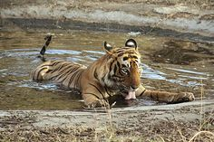 Keepers See Tigers in the Wild