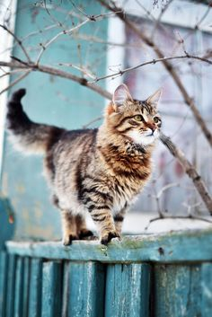 Niedliche Katze, ganz stolz spaziert sie dahin... Katzenbild mit stilvoll blaugetöntem Zaun.  mehr Katzen, mehr Tiger: http://www.tigressart.com   #katzen #katzenbilder