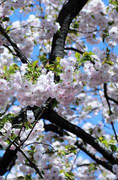Sakura is the symbol oc flower in Japan. Japanese feel so proud oc it cos it brings everyone awesomeness!