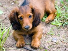 Long Haired Dachshund Puppies may be the cutest thing ever.