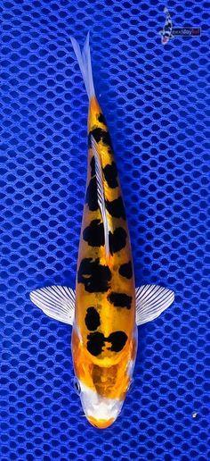 Este pequeño pescado de NDK me hace pensar en manchas de leopardo