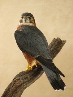 Merlin Bird