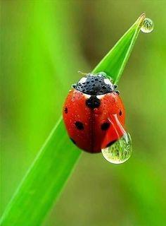 Dewdrop ladybird