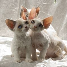 Devon Rex Kittens, too cute!! ~ Photography by Peter Hasselbom