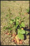 plante adulte Rumex à feuilles obtuses
