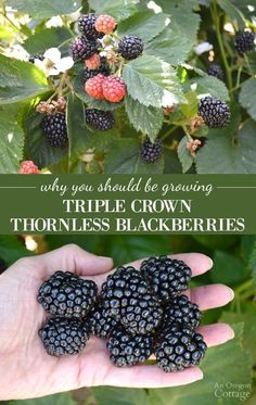 Landscape Garden Design 5 reasons to grow amazing Triple Crown Thornless Blackberries- just a few.Landscape Garden Design 5 reasons to grow amazing Triple Crown Thornless Blackberries- just a few Thornless Blackberries, Growing Blackberries, How To Grow Raspberries, Blueberries, Black Raspberries, Fruit Garden, Edible Garden, Garden Plants, Backyard Farming