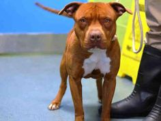 Brooklyn Center   BROCK - A1022160   MALE, TAN / WHITE, AM PIT BULL TER MIX, 1 yr STRAY - STRAY WAIT, NO HOLD Reason STRAY  Intake condition EXAM REQ Intake Date 12/02/2014, From NY 11226,  https://www.facebook.com/Urgentdeathrowdogs/photos/pb.152876678058553.-2207520000.1417563146./915459368466943/?type=3&theater +++++++++CAME WITH 2 CATS+++++++
