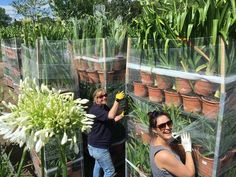 Our lovely ladies unloading thousands of our Agapanthus for Hampton Court.