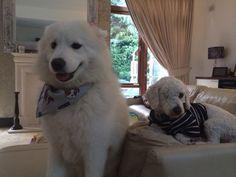 Best friends Samoyed, Best Friends, Dogs, Animals, Beat Friends, Bestfriends, Animales, Animaux, Pet Dogs