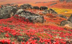 Autumn in Alaska Credit: National Park Service Looking for an autumn escape? The colorful and incredibly lush Bering Land Bridge National Preserve in Alaska makes for an ideal fall destination. The…Read American National Parks, Us National Parks, Places Around The World, Around The Worlds, National Landmarks, Earth Photos, Shinjuku Gyoen, Image Of The Day, Natural Phenomena