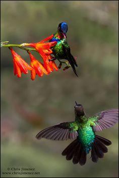 Fiery-throated Hummingbird by Chris Jimenez Nature Photo, via Flickr