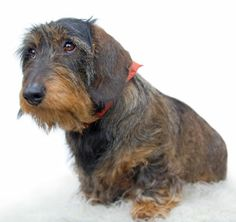 Wirehaired Dachsund - looks just like our Snickers!