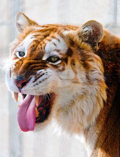 Flehmen golden tiger by Tambako the Jaguar, via Flickr