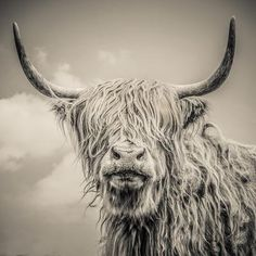 Highland Cattle Photographic Print by Mark Gemmell at Art.com