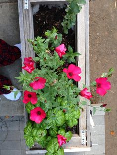 myGardenAnswers: SCARLET FLAX (LINUM GRANDIFLORUM) Grows about 2 ft. tall and half as wide, producing lots of rose-pink flowers over spring and summer. Each bloom lasts just a day, but they keep coming. Can reseed. Sometimes seen in wildflower mixes.  Brought to you by myGardenAnswers. Now available in the app store.
