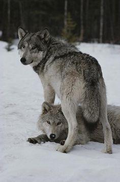beautiful-wildlife:  WolvesbyJim And Jamie Dutcher