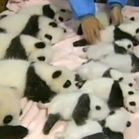 Fourteen Pandas In A Crib [VIRAL VIDEO]