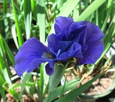 FUN FACT: Did you know the genus Iris was named after the mythical goddess of the rainbow due to the huge range of flower colors?   Look at the beautiful deep purple of our Ruffled Velvet Siberian Iris (Zone 4-9).