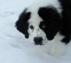 Newfoundland / Saint Bernard Mix - OMG - so cute!  I suspect there is a lot of drool involved.