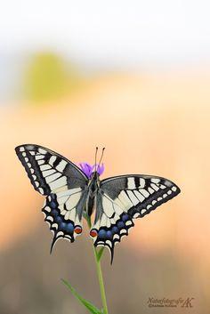 Schwalbenschwanz (Papilio machaon) by Andreas Kolossa on 500px
