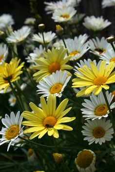 """""""I love daisies. They're so friendly. Don't you think daisies are the friendliest flower?"""" 