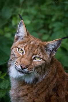 lynx looking to me