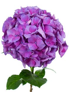 """Hortensie """"Magical Esmee Paars"""" lila violett als Schnittblume - Saison im Mai, Juni, Juli, August und September"""