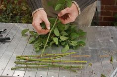 How to take rose cuttings and grow roses in potatoes. Propogate Roses, Farm Gardens, Outdoor Gardens, Plantar Rosales, Roses In Potatoes, Lady Banks Rose, Rose Cuttings, Rose Propagation, Rooting Roses