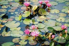 LOTUS POND CAMBODIA 2WORLDTOURS.COM.AU Lotus Pond, Water Hyacinth, Weaving Projects, Angkor, Cambodia, Colours, Nature, Plants, Painting