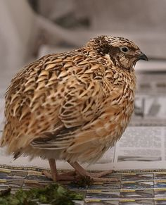 """The Japanese quail, Coturnix japonica, dwell in grasslands and cultivated fields. Japanese quail have been reared in India for their meat and eggs. The species is seen as a good """"dual-purpose bird""""."""