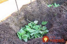 Dajte čerstvú žihľavy do každej jamy: Keď zistíte, čo to urobí s koreňmi rajčín, nebudete váhať ani sekundu!