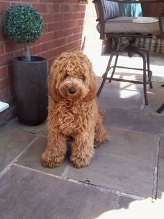 Poodle Cross Breeds & Cutest Poodle Mix Dogs List Source by The post Poodle Cross Breeds Poodle Mix Dogs, Dogs And Puppies, Doggies, Cocker Spaniel Poodle Mix, Cockapoo Puppies, Cavapoo, Labradoodle Dog, Labradoodles, Goldendoodles