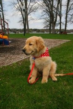 A happy, well trained Golden Retriever puppy. Fully housebroken by 13 weeks of age.: