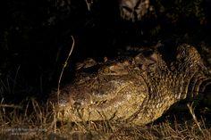 This #Crocodile was as big as he looks! Taken in #Livingstone, #Zambia /// #Safari #Photography