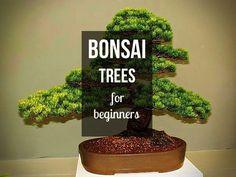 Beginner Bonsai Trees. Beginner Bonsai Trees. Recommended Plant List. Juniper Bonsai. Ficus Bonsai. Chinese Elm Bonsai. Dwarf Schefflera (arboricola) A Favorite Beginner Bonsai Tree for Indoors. The Jade Bonsai Tree. Getting Started. #bonsaihelp #weetrees #bonsaitree #bonsai #japan